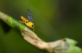 scorpion wasp (Iichneumon)