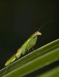 Nymph praying mantis