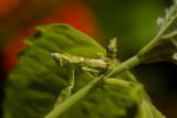 Nymph flower mantis