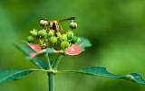 Potter wasp on wild poinsettia