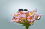 Spider Wasp(?)