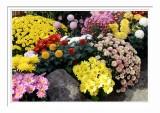 Flowers - Asakusa 2