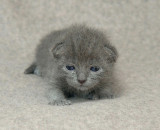 One of the silver blue Kittens at 12 days old.