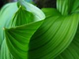False Lily