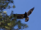 04 JUL 10 Juvenile Eagle