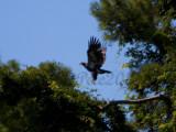 04 JUL 10 Juvenile Eagle Taking Flight