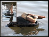 28 FEB 08 HUNGRY PELICAN