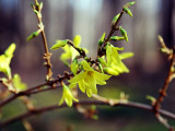 03 MAR 08 FORSYTHIA ARE BLOOMING