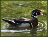 29 MAY 08 MALE WOOD DUCK