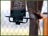 31 MAY 08 BROWN THRASHER