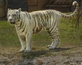 Tiger 088.jpg
