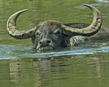 Water Buffallo 144.jpg