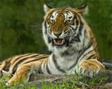 Tiger 442.jpg