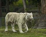 Tiger 429.jpg
