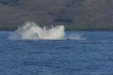 Humpback Whale Breach Sequence