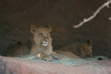 9 month old African Lion cubs