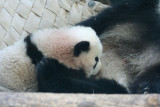 Ang - Lun Lun - 12 year old female and new cub Xi Lan