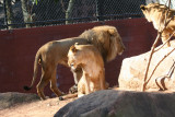 Ang - African Lions