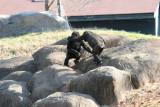 Ang - Gorillas