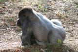 Ang - Gorilla