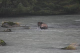 Brown Bear fishing in Haines, AK