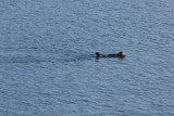 Sea Otters in College Fjord, AK