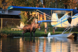 Moose at Lake Hood Inn - Anchorage