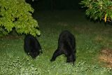 Bears from the back deck of the condo
