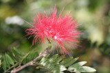 Wild Mimosa