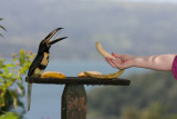 Angela feeding an Aracari bananas