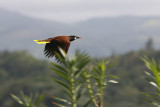Oropendula in flight
