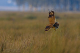 Marsh Owl (Asio capensis tingitanus)