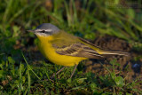 Probable Channel Blue-headed Yellow Wagtail (Motacilla flava hybrid)