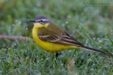 Blue-headed Yellow Wagtail (Motacilla flava ssp flava)