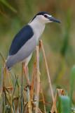 Night Heron (Nitticora)