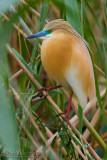 Squacco Heron (Sgarza ciuffetto)