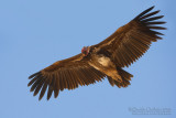 Lapped-faced Vulture (Torgos tracheliotus)
