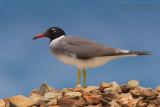 White-eyed Gull (Gabbiano occhibianchi)