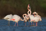 Greater Flamingo (Fenicottero)