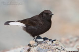 Black Weathear (Oenanthe leucura)