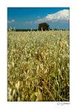 Champs de blé arbre.jpg