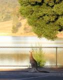 Kangaroo @ Sugerloaf Reservoir