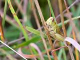Spur-Throated Locust