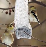 American Goldfinch - Winter