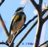 Yellow-rumped warbler-male (Dendroica coronata)