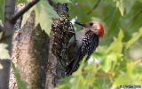 Red-bellied woodpecker (Melanerpes carolinus) - female
