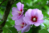 Rose of Sharon.JPG