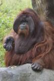Chantek Orangutan Male.jpg