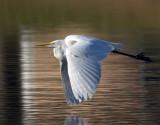 Great White Egret over Waverly Pond.jpg