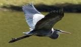 Flying-Heron.jpg